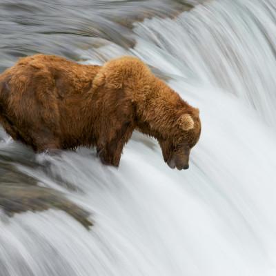 Bären in Alaska 2011