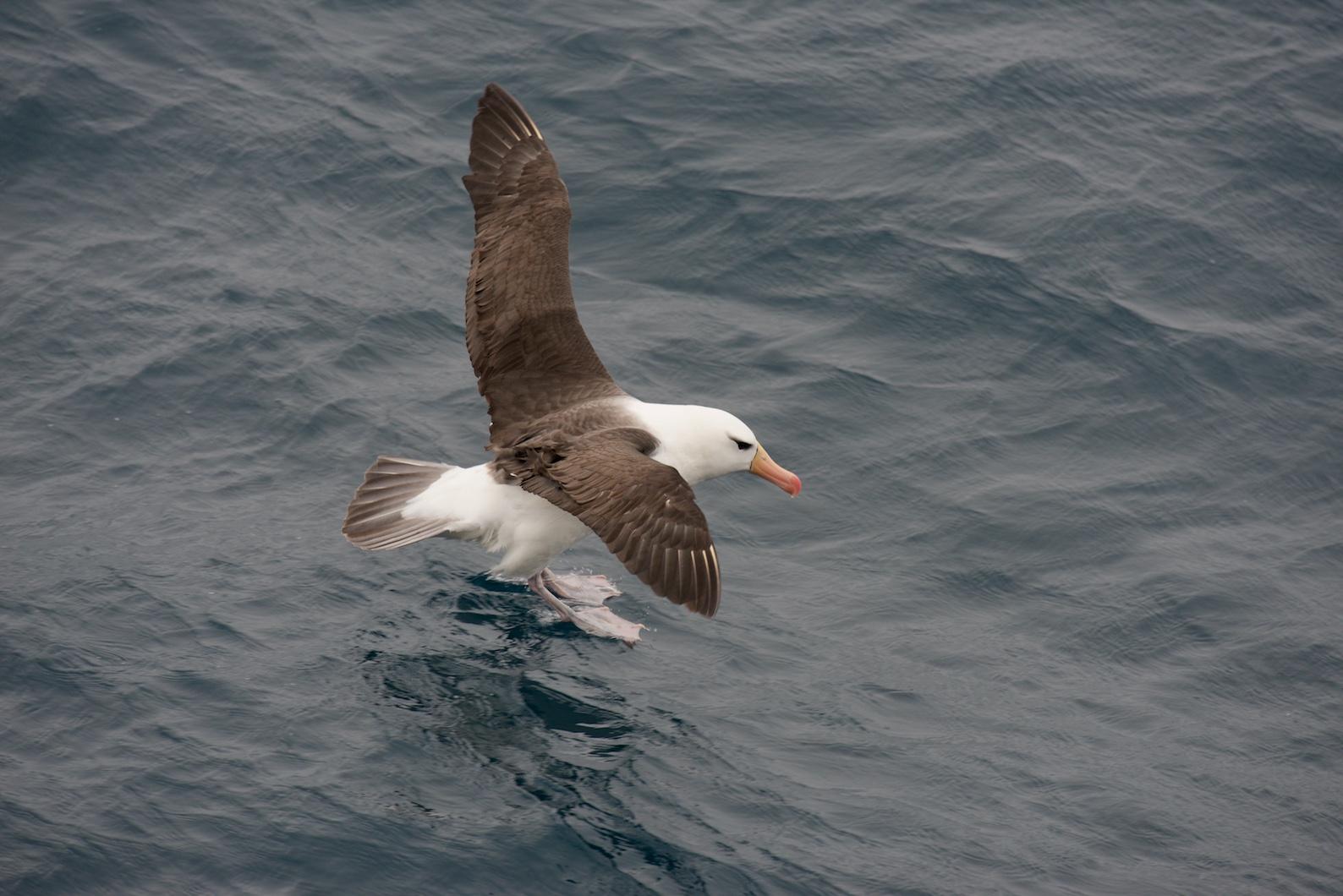 Albatros_384