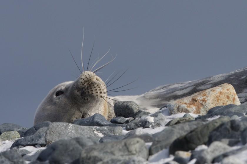 Südliche Shetlandinseln · Half Moon Island und Whaler's Bay