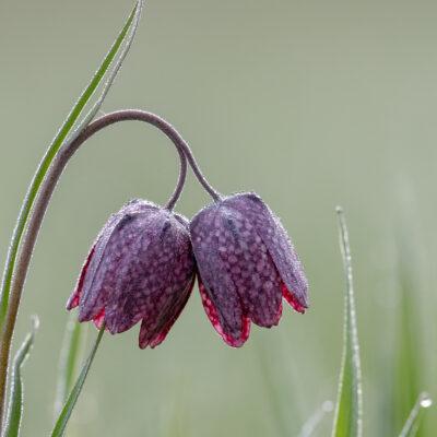 Schachbrettblumen im Jura